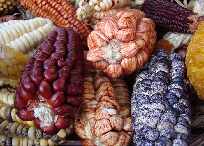 Ir para Cientistas se baseiam em evidências genéticas e arqueológicas para uma nova versão da história do milho