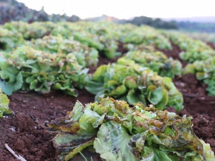 Ir para Geada causa perdas na produção de hortaliças na região do Alto Uruguai