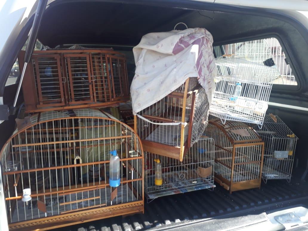 Mais de 80 pássaros criados ilegalmente são recolhidos
