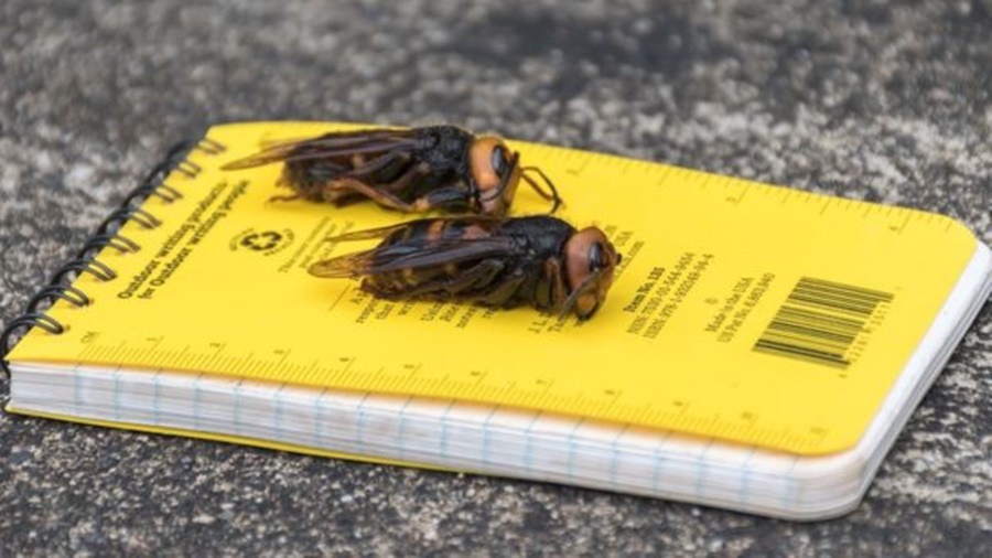 Ir para  <p><big>Nativas da &Aacute;sia, as chamadas vespas gigantes asi&aacute;ticas (<em>Vespa mandarinia</em>) foram vistas pela primeira vez nos Estados Unidos em dezembro do ano passado, e sua presen&ccedil;a vem...
