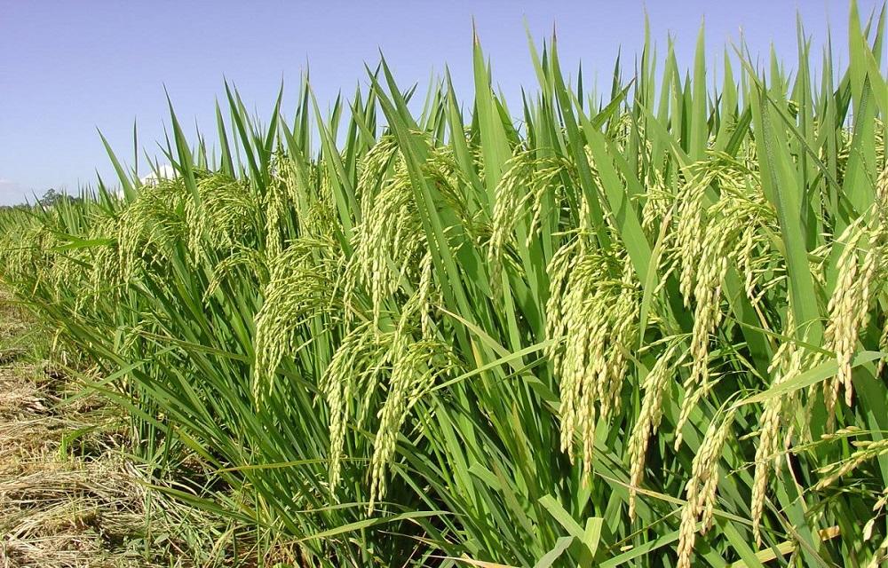 Ir para  <p>Os produtores de arroz ir&atilde;o ampliar em 3,5% a &aacute;rea plantada na safra 2020/2021, com a semeadura de 969.192 hectares, 32.876 hectares a mais do que no ciclo 2019/2020. A estimativa&nbsp;foi divulgada ontem pelo...