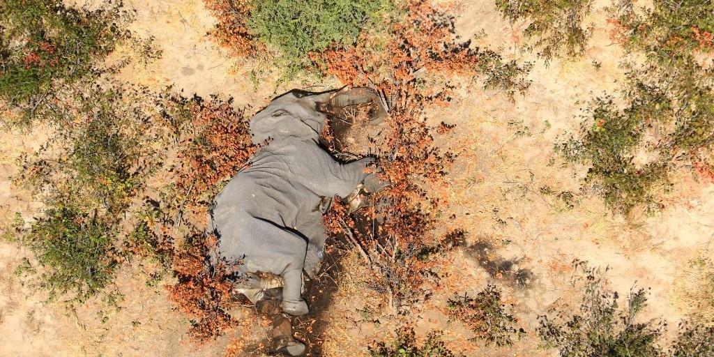 Ir para  <p>Centenas de elefantes encontrados misteriosamente mortos em Botsuana, na regi&atilde;o do delta do rio Okavango (Norte), foram v&iacute;timas de uma cianobact&eacute;ria produtora de neurotoxinas, revelou o governo nesta...